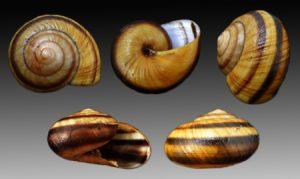 Ariophantidae (Black-faced snails)