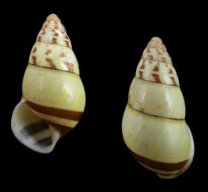 Amphidromus porcellanus