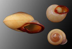 Bradybaenidae (Bush snails)