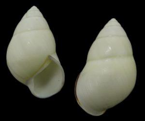 Amphidromus albulus