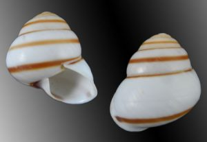 Dryocochlias hydrophana (Shining Helicostyla)