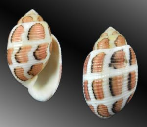 Acteonidae (Barrel bubble shells)