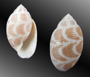 Acteon cebuanus (Cebu's Acteon)