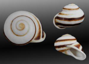 Calocochlia albaiensis (Albay Calocochlia)