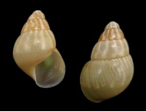 Dolichostyla fischeri