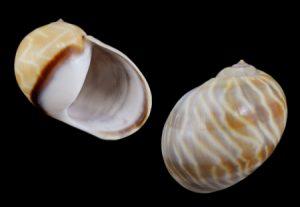 Ampullinidae