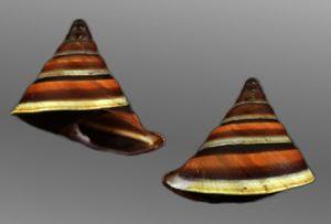Camaenidae (Beer snails)