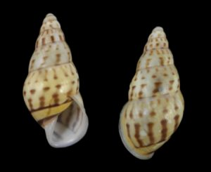 Amphidromus kuehni