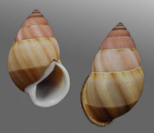 Amphidromus inversus annamiticus (Annam Amphidromus)