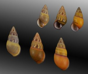 Amphidromus quadrasi (Versicolor Amphidromus)