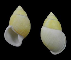 Amphidromus palaceus tener