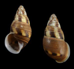 Amphidromus filozonatus