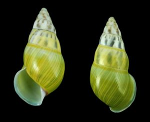 Amphidromus furcillatus f. virescens
