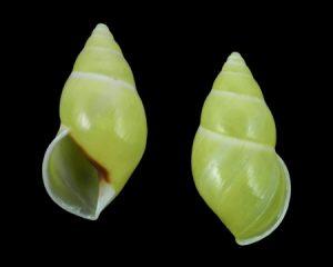Amphidromus ristiae