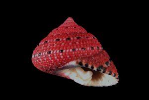 Trochidae (Top shells)
