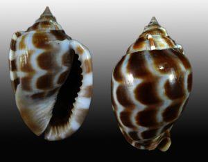 Cassidae (Helmut & Bonnet shells)