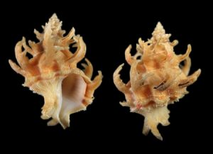 Coralliophilidae (Coral lover shells)