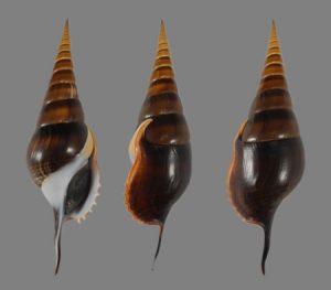 Rostellariidae (Tibia shells)