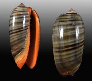 Olividae (Olive shells)