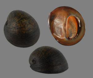 Neritidae (Nerites)