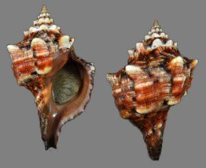 Fasciolariidae (Tulip snails and spindle shells)