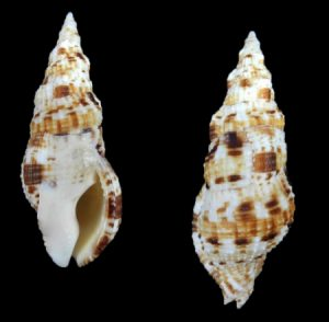 Colubrariidae (Vampire shells)