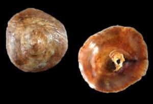 Calyptraeidae (Cup & saucer shells)