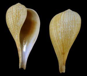 Ficidae (Fig shells)