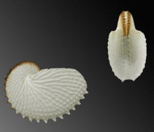 Argonautidae (Argonauts)
