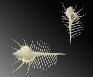 Muricidae (Murex shells)