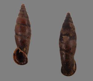 Clausiliidae (door snails)