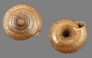 Trochomorphidae