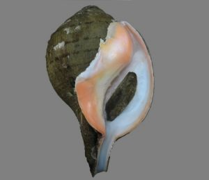 Turbinellidae (Chanks & Pagoda shells)