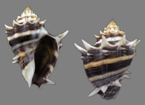 Melongenidae (Crown conchs)