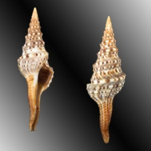 Turridae (Turrid shells)