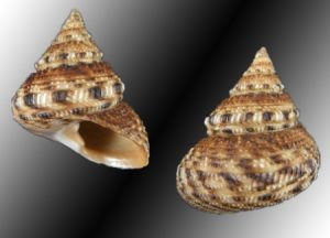 Chilodontidae (Toothed top shells)