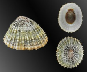 Nacellidae (Copper Limpets)