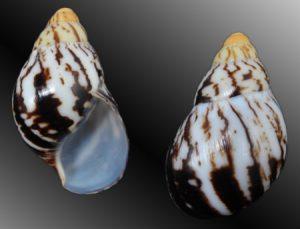 Archachatina marginata marginata
