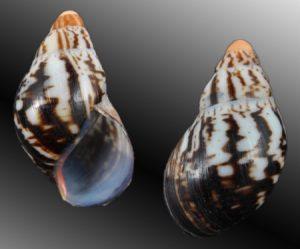 Archachatina marginata subsuturalis