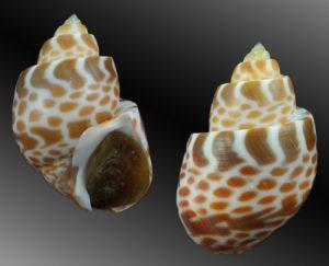 Babyloniidae ( Babylons shells)