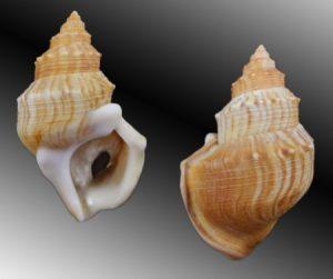 Struthiolariidae (Ostrich Foot shells)