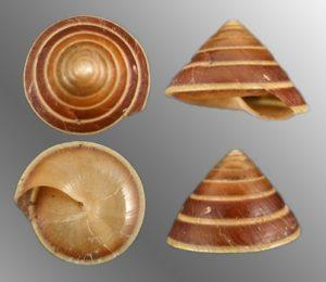 Helicarionidae