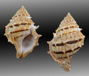Bursidae (Frog shells)