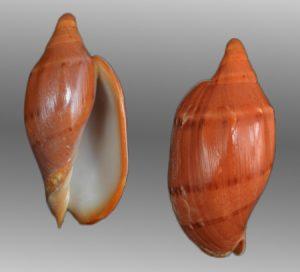 Volutidae (Volutes)