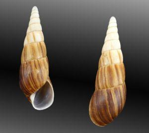 Clavatoridae