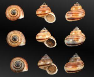 Pomatiidae (Pomatias snails)