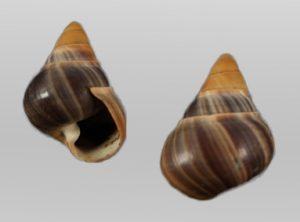 Achatinellidae (Hawaiian tree snails)