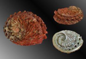 Haliotidae (Abalones)