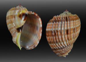 Harpidae (Harp shells)