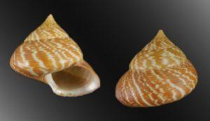 Calliostomatidae (Noble top shells)